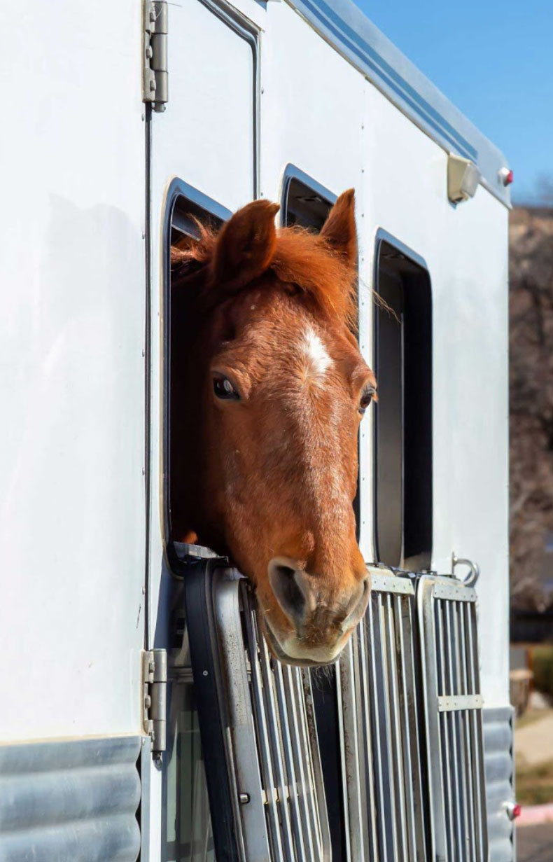 Brown horse sticking his head out of a horse trailer