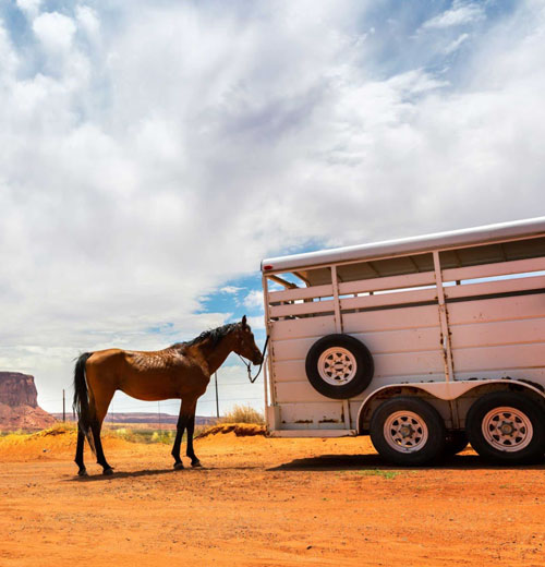 Brown horse standing next to a large horse trailer